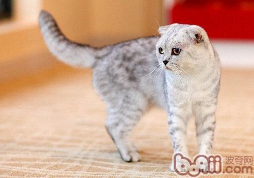 折耳猫骨骼方面遗传病及表现症状-猫咪常见病